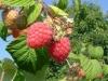 Саженцы малины Glen Ample