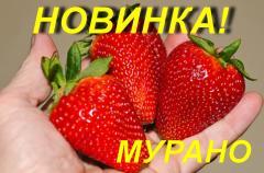 """Земляника садовая (КЛУБНИКА) """"Мурано"""""""