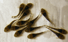 Личинка щуки, производитель