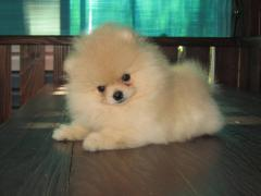 Puppies of a Pomeranian spitz-dog of a show class