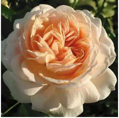 Саджанці декоративних рослин, Роза Жуа де Вив