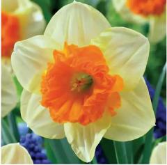 Саджанці декоративних рослин, Нарцис Балли, купити