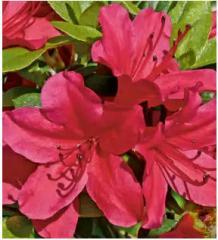 Саджанці декоративних рослин, Рододендрон