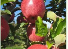 Саженцы яблонь, купить Украина