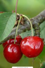 Sweet cherry saplings to buy Ukraine