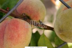 Peach saplings to buy Ukraine