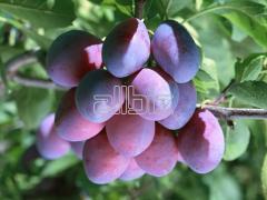 Plum saplings to buy Ukraine