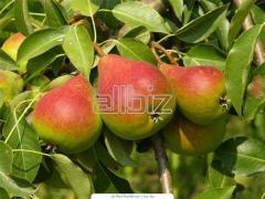 Pear saplings to buy Ukraine