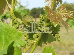 Grapes saplings to buy Ukraine