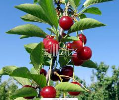 To buy cherry saplings, Saplings of cherry Ukraine