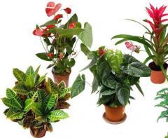Растения комнатные, Ровно, Украина