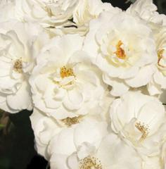 Саженцы роз. Многоцветковые (флорибунда) розы
