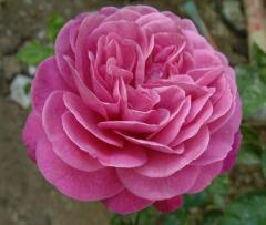 Миниатюрные розы  и розы патио. Саженцы роз