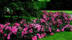 Почвопокровные розы. Саженцы роз