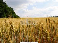 Зерновые культуры, Ячмень
