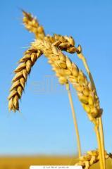 Пшеница золотая