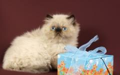 The Himalaya and Persian kittens for export I sell