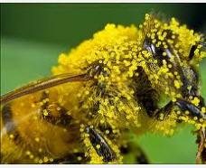 Pollen flower to buy Ukraine