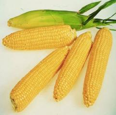 Sowing corn of Gibrid Galaksi 99 export is