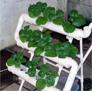 Hydroponics. Hydroponic watering. Rapid growth of