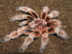 "Grammostola Rosea (""Red Chilean"