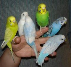 Волнистые попугаи, голубые