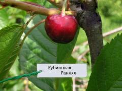 Черешня сорт Рубиновая ранняя ТМ FRUTTOM