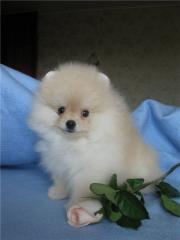 Pomeranian spitz-dog - the boy the Snow cloud