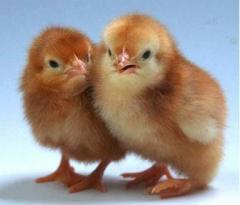 Цыплята  породы Рэдбро