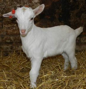 Зааненская (заанентальска)  порода коз