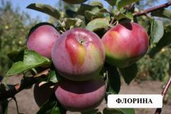 Флорина (яблоня) - зимний сорт