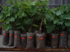 Саженцы столового винограда Сфинкс, Кодрянка