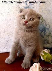 Asılı kulaklı iskoç kedileri