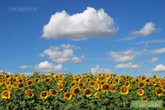 The sunflower is commodity, the Luhansk Region.