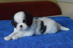 Puppies of breed Japanese chin