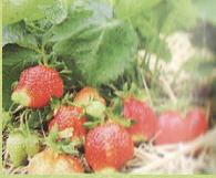 Elsant's strawberry average grade