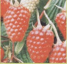 Raspberry Glen Empl (C_en Ample) Mid-season grade