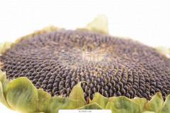 Sale of sunflower seeds of a sunflower at the