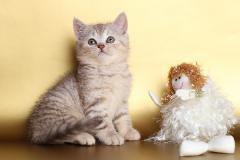 Chokolate silver tabby kitten