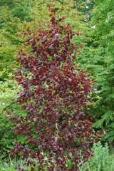 "Birch warty ""Purpuriya"