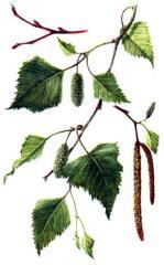 Birch povisly