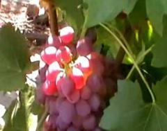 Саженцы винограда ранних сортов