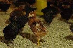Купить Куры. Цыплята суточные породи Испанка.