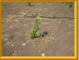 Саженцы винограда (посадочный материал)