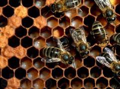 Пчелопакеты купить, цена, фото