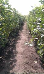 Саженцы винограда, виноград, купить Украина