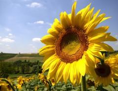 Sunflower oil, vegetable, sub-standard, fuz, tank