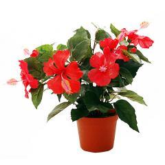 Комнатные растения. Гибискус