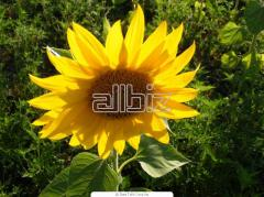 The sunflower is technical, the Luhansk Region.