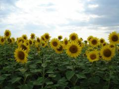 The sunflower is long-term, the Luhansk Region.
